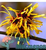 Гидролат (цветочная вода) Гамамелиса