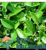 Гидролат (Цветочная вода) Зеленого чая