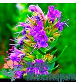 Гидролат (цветочная вода) Иссопа